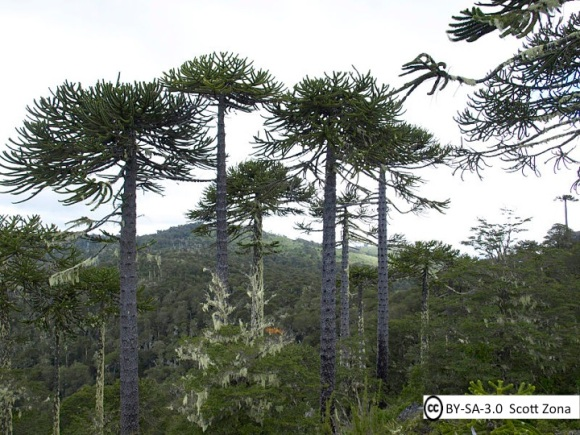 arucaria forests