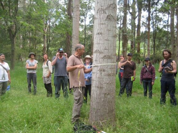 Measuring up trees with a DBH tape to determine the volume of timber or carbon present in the tree