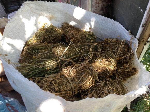 Chamomile harvested for market